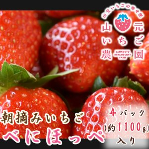 いちご べにほっぺ 山元町産 朝摘みいちご4パック|yamamoto-ichigo15