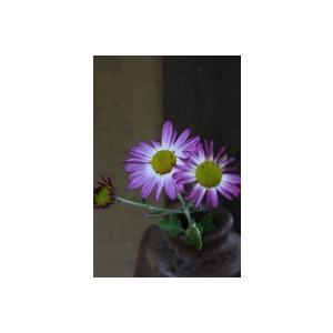 花 苗 山野草:桃花サツマノギク ポット苗|yamashichi