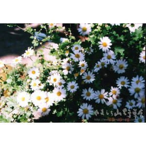 花 苗 山野草:朝鮮ノギク|yamashichi