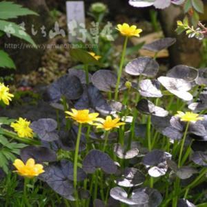 花 苗 山野草:紫葉ヒメリュウキンカ 7.5cmポット苗|yamashichi