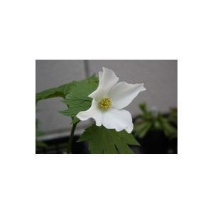 花 苗 山野草:白花シラネアオイ ポット苗|yamashichi