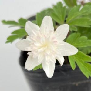 花 苗 山野草:八重咲イチリンソウ|yamashichi