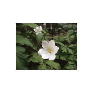 花 苗 山野草:ニリンソウ 2芽入り 9cmポット苗|yamashichi