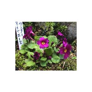 花 苗 山野草:プリムラ・ワンダ ホースインホース|yamashichi