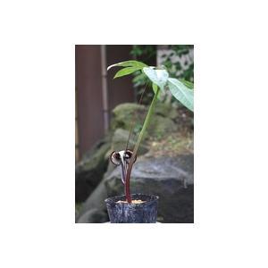 花 苗 山野草:ヒメウラシマソウ ポット苗|yamashichi