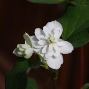 花 苗 山野草:八重咲きドクダミ ポット苗|yamashichi