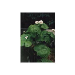 花 苗 山野草:サンカヨウ 9cmポット苗|yamashichi