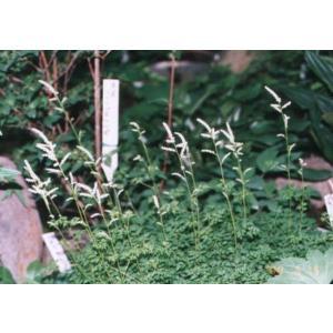 花 苗 山野草:タンナチダケサシ|yamashichi