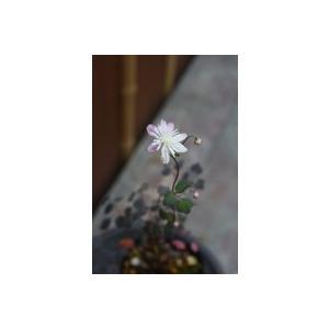 花 苗 山野草:タカサゴカラマツ 9cmポット苗|yamashichi