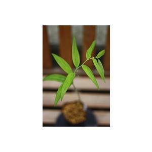 花 苗 山野草:縞斑笹葉ミヤマナルコユリ|yamashichi