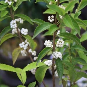 花 苗 山野草:シロシキブ 9cmポット苗 yamashichi