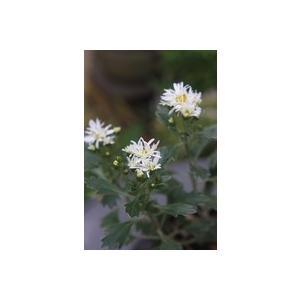 花 苗 山野草:ハナイソギク 白髪の誉|yamashichi
