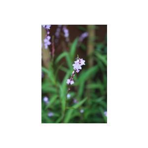 花 苗 山野草:濃色サクラタデ|yamashichi