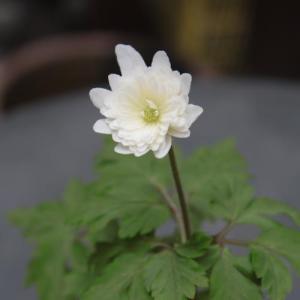 花 苗 山野草:八重咲キクザキイチゲ 雪の精 ポット苗|yamashichi