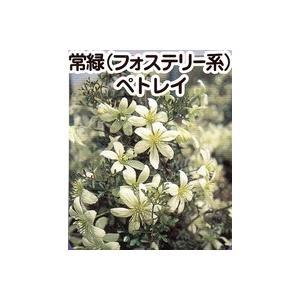 花 苗 山野草:クレマチス ペトリエイ 1年苗|yamashichi