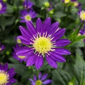 花 苗 山野草:ミヤコワスレ 紫 3.5号ポット苗|yamashichi