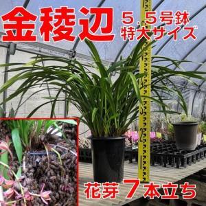 花 苗 山野草:送料無料 キンリョウヘン(金稜辺)5.5号鉢 花芽7本立ち 令和3年春開花見込み 日本ミツバチ捕獲用にどうぞ|yamashichi