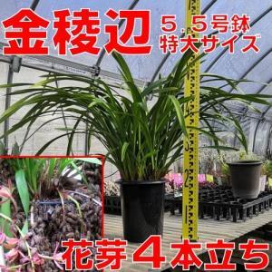 花 苗 山野草:送料無料 キンリョウヘン(金稜辺)5.5号鉢 花芽4本立ち 令和3年春開花見込み 日本ミツバチ捕獲用にどうぞ|yamashichi