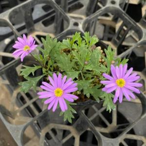 花 苗 山野草:宿根ブラキカム 紫 ポット苗|yamashichi