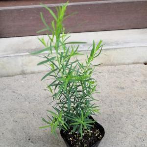 花 苗 山野草:ハーブの苗 メディカル・ティーツリー 9cmポット苗|yamashichi