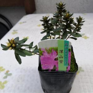 花 苗 山野草:ミヤマキリシマツツジ 深山紫 3号ポット苗|yamashichi