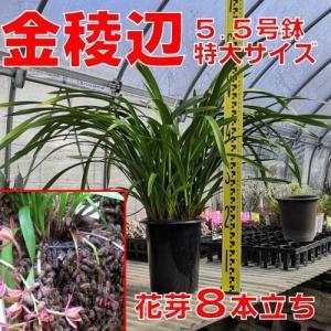 花 苗 山野草:送料無料 キンリョウヘン(金稜辺)5.5号鉢 花芽8本立ち 令和3年春開花見込み 日本ミツバチ捕獲用にどうぞ|yamashichi