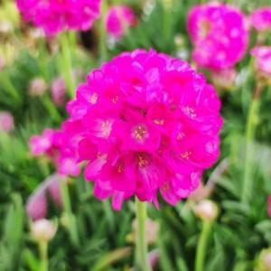 花 苗 山野草:アルメリア ビーズルビー 12cmポット大苗 yamashichi