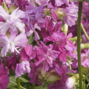 花 苗 山野草:八重赤花ソープワート ポット苗|yamashichi