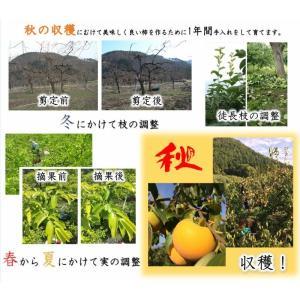 会津みしらず柿2L以上(9〜11個入り)2.5kg|yamautifruit|08