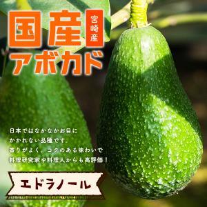 横山果樹園の「エドラノール(国産アボカド)Mサイズ1玉」ギフト箱入り|yao800