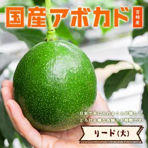 横山果樹園の「リード(国産アボカド)1玉」ギフト箱入り|yao800
