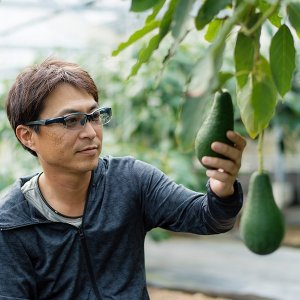 横山果樹園の「ヤマガタ(国産アボカド)1玉」ギフト箱入り|yao800|10