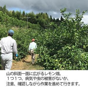 国産レモン【5kg】 日南産マイヤーレモン直径4cm以上 ※ノーワックス|yao800|03