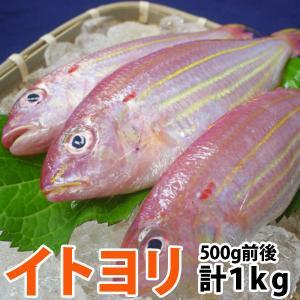 イトヨリ(いとより) 計1.0kg前後(300〜500g前後サイズ) 五島灘で獲れた上品な味わいのイトヨリダイ 九十九島鮮魚|yokasakana
