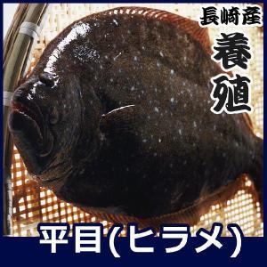 活〆平目 (長崎産上質養殖ヒラメ) 1.3kg前後1尾 長崎五島灘の大自然で育てました 九十九島鮮魚|yokasakana