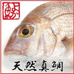 ギフト 長崎産天然真鯛 (釣りもの一級品・活もの) 4kg前後 1尾・6〜9人前