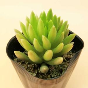 多肉植物 セダム属 モルガニューム サイズは、7.5センチポットになります。