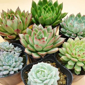 多肉植物 今月の多肉セット サマーカラー。      ルンデリー、美尼王妃晃、青い渚、ギルバ、桃太郎...
