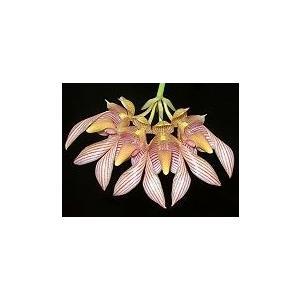洋蘭苗 Bulb. bicolor バルボフィラム属.ビカラー  youranhanaitiba