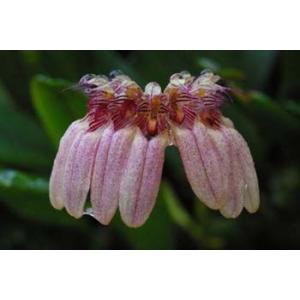 洋蘭苗 Bulb.roxburghii  バルボフィラム属ロクバーギー|youranhanaitiba