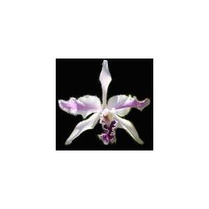 洋蘭苗 L.crispax sib. レリア、クリスパ x シブリング youranhanaitiba
