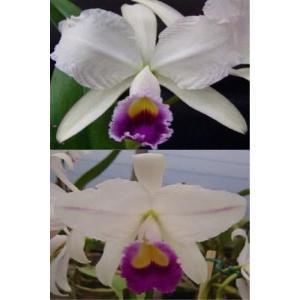 洋蘭苗 trianeae coerulea X  sib  カトレア属トリアーネ セルレア x シブリング|youranhanaitiba