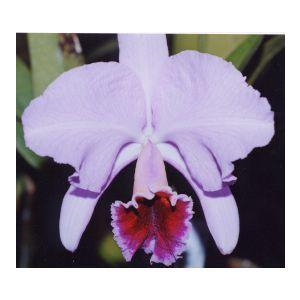 洋蘭苗 C.percivaliana  x sib カトレア属 パーシバリアナx シブリング youranhanaitiba