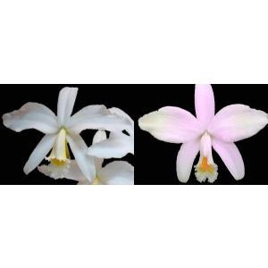 洋蘭苗 C. jongheana x sib(alba 'Alpha' X delicata Select) C.ジョンギアナ(アルバ アルファ X デリカタ セレクト) youranhanaitiba
