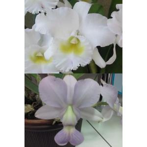 洋蘭苗  Bc.Pastoral X C. walkeriana var. coerulea (実生苗) Bc.パストラル X ワルケリアナ セルレア youranhanaitiba