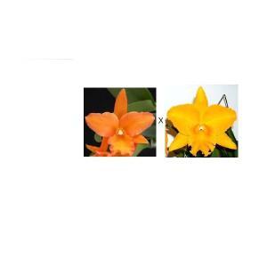 洋蘭苗 Blc.Fuchs orange Nagget XPot. Haw Yuan Gold (実生苗) Blc.フクス オレンジナゲット x Pot.ハウヤンゴールド youranhanaitiba