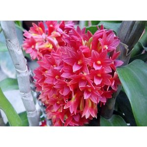 洋蘭苗 Den. usitae (Red Coral x Tien) デンドロビューム、ウシタエ youranhanaitiba