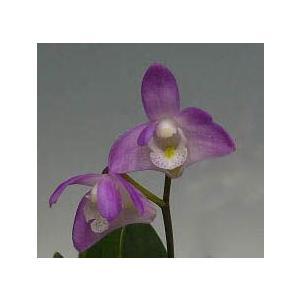 洋蘭苗 Den.kingianum var. compactum youranhanaitiba