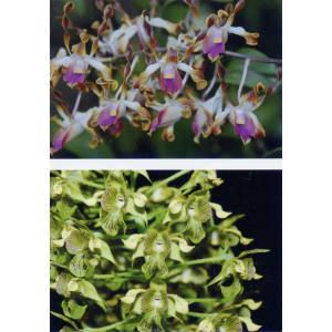 洋蘭苗Den.Kona (lasianthera x macrophyllum) デンドロビウム、コナ|youranhanaitiba