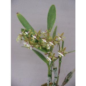 洋蘭苗 Epi.stamfordianum  エピデンドラム、スタンフォーディアナム youranhanaitiba